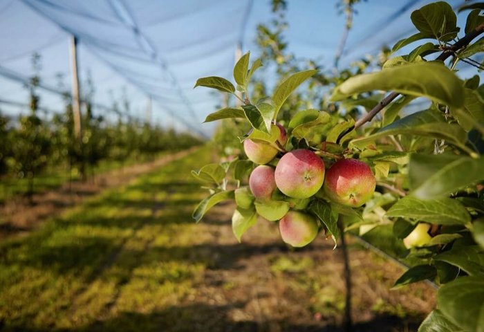 Agricultural Producer in Turkmenistan Grows Apple Orchards on Hill