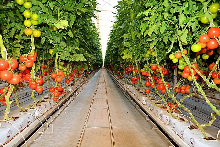 Turkmen Company Grows Over Thousand Tons of Tomatoes Annually
