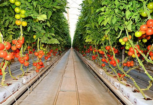 Turkmen Greenhouse Grower in Sarakhs Collects its First Tomato Harvest