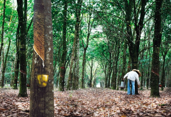 Thailand to Subsidize Rubber Farmers With $849.7 Million