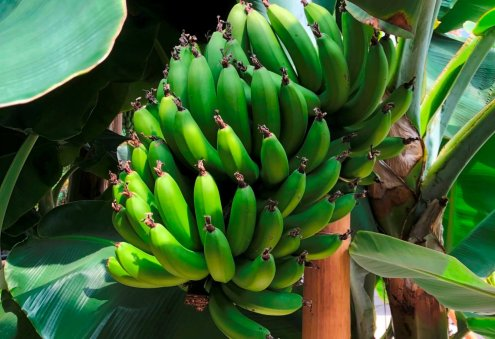 Turkmen Agricultural Company Aims to Harvest 60 Tons of Bananas
