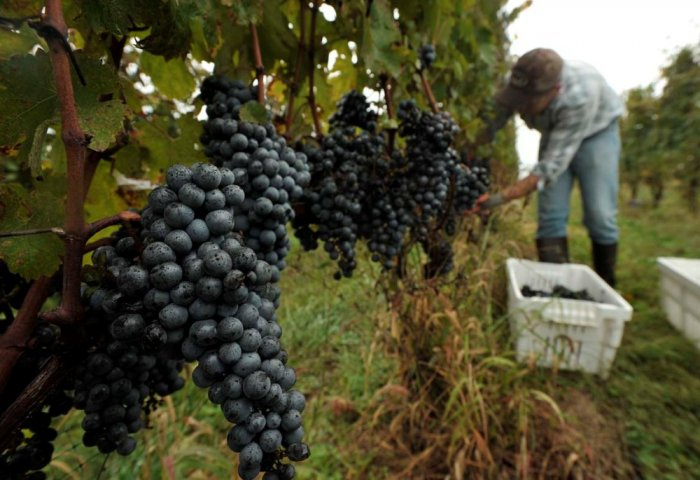 Gülälekli Depe Set to Harvest Around 200 Tons of Grape