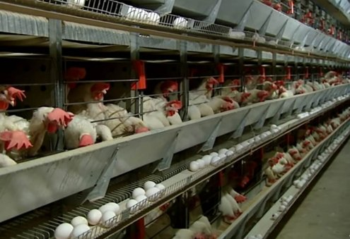 Poultry Farming Grows in Turkmenistan