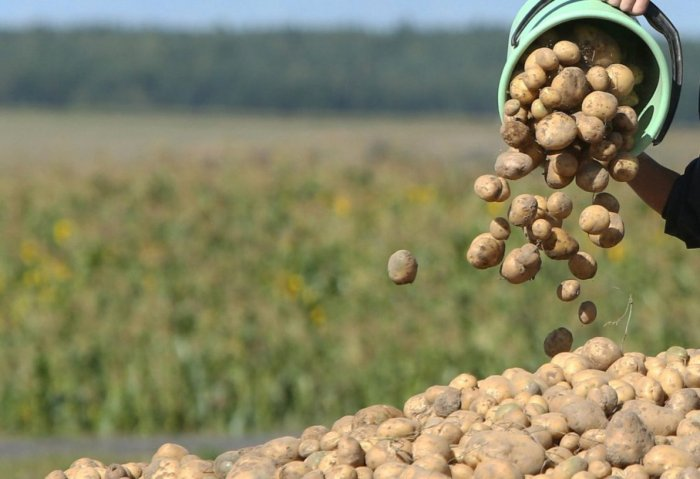 Turkmen Company Intends to Increase Its Potato Production