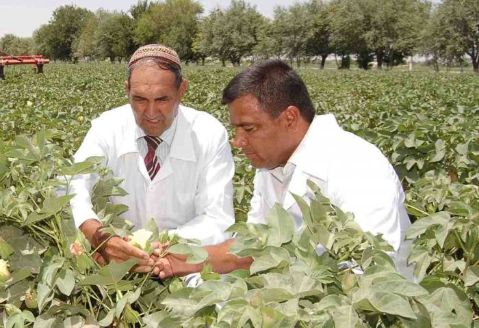 Specialists in Dashoguz Test New Sort of Cotton