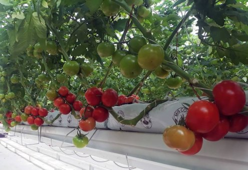 Turkmen Company Harvests Over 1.9 Thousand Tons of Tomatoes