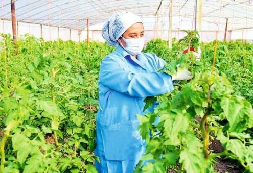 Turkmen Agricultural Producer Harvests 8 Tons of Cucumber