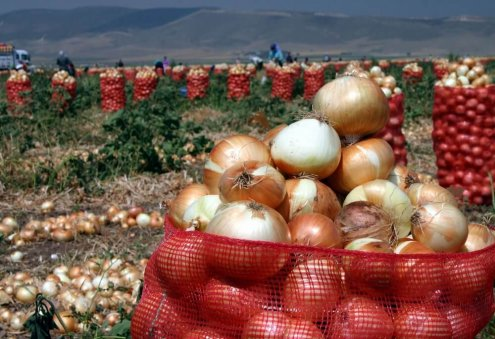 Farmers in Turkmenistan's Balkan Expect 12,500 Tons of Onion Harvest