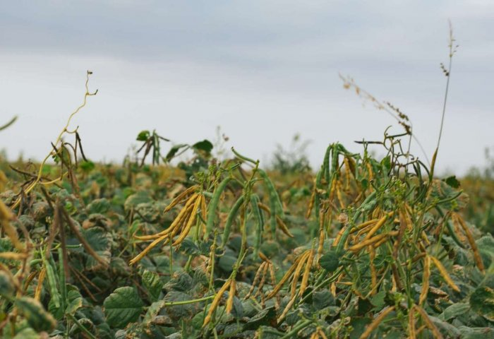Turkmenistan Aims to Export 9,000 Tons of Mung Beans