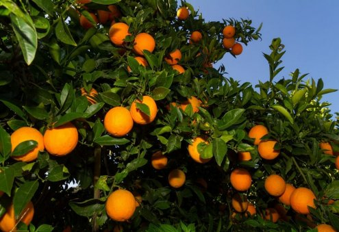 Turkmenistan Plans Construction of New Greenhouses to Grow Citrus Crops