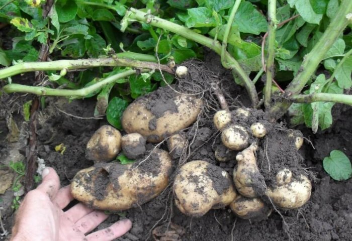 Number of Private Producers of Potato Grows in Northern Turkmenistan