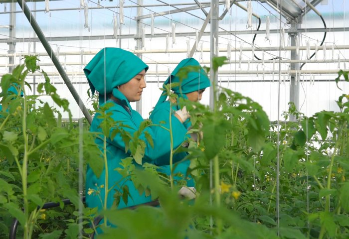 Yrsgal Ojagy Launches Tomato Greenhouse in Gokdepe Etrap