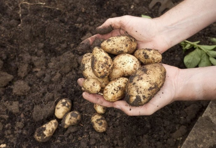 Turkmenistan Intends to Harvest Over 155 Thousand Tons of Potatoes