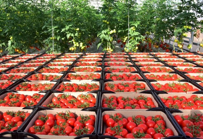 Ahmet Haýdar Enterprise Expects to Harvest 750 Tons of Tomatoes