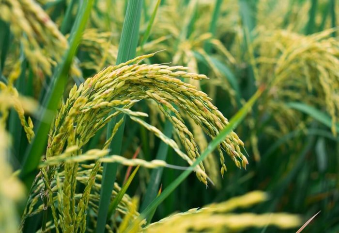 Turkmenistan Aims to Harvest 82 Thousand Tons of Rice