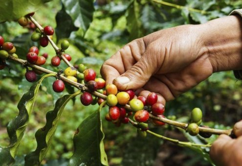 Turkmenistan Plans to Grow Coffee Trees