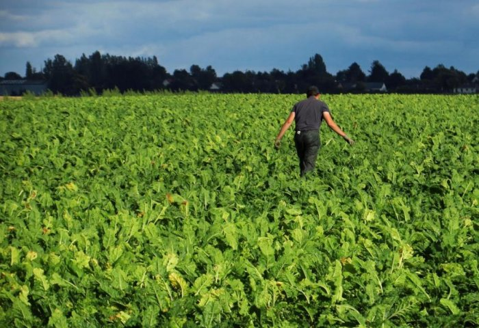 Mary Farmers Plan to Harvest Over 200,000 Tons of Sugar Beet