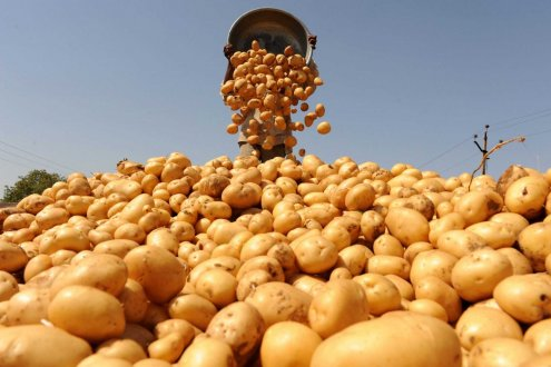 Spring Sowing of Potatoes Completes in Turkmenistan's Dashoguz Velayat
