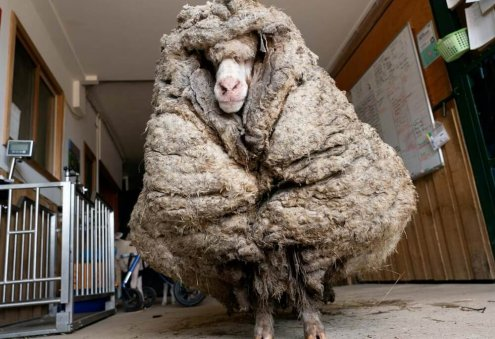 Wild Sheep With Over 35-kg Wool Rescued in Australia