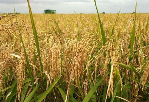 Rice Producers of Dashoguz Hit Production Target