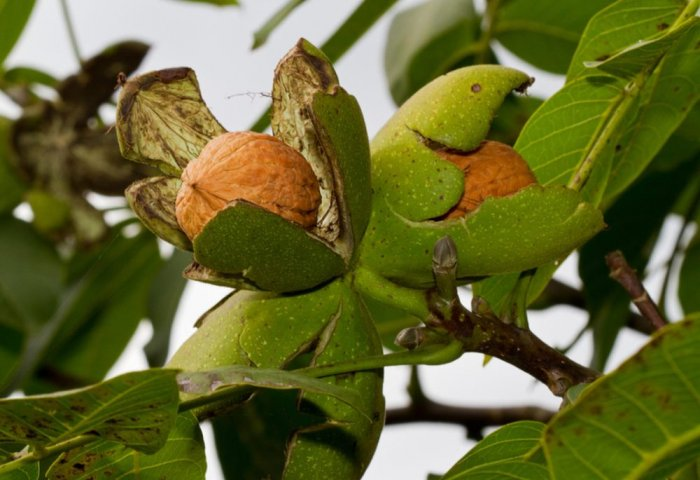 Farmers in Lebap Looking to Increase Walnut Yields